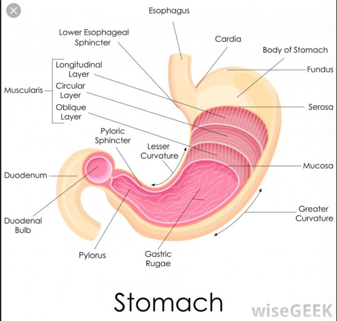 stomach.duodenum.image.wise.geek